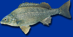 The Silver Perch